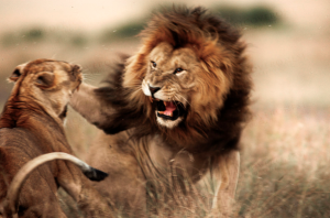Male lion fighting