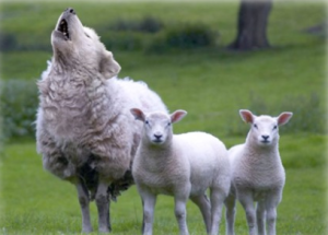 Sheep howling like wolf