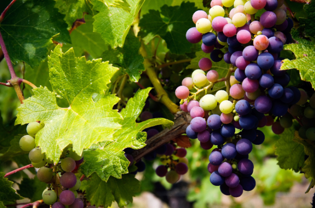 grape-clusters